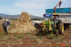 Forraje molido de planta entera de maíz en los Altos de Jalisco