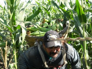 Cosecha de elote en Sinaloa