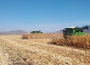 Trilla de maíz Ares de Unisem en Los Mochis, Sinaloa, México